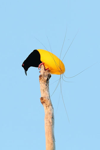 12 wired bird of paradise.jpg