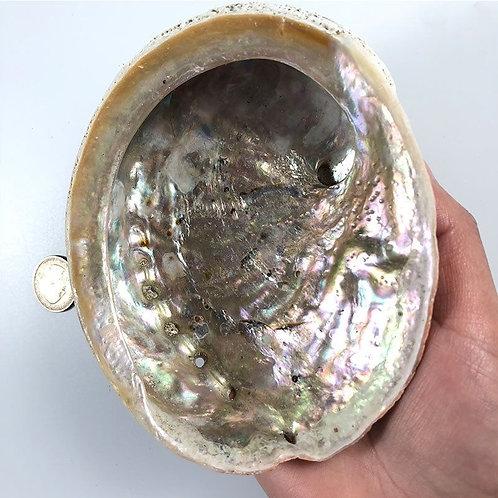 Natural Abalone Shells