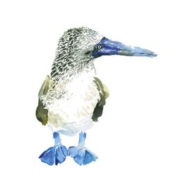 Blue Foot Bird 1 8x10.png