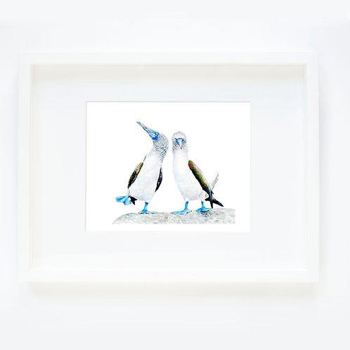 Blue Foot Birds 2