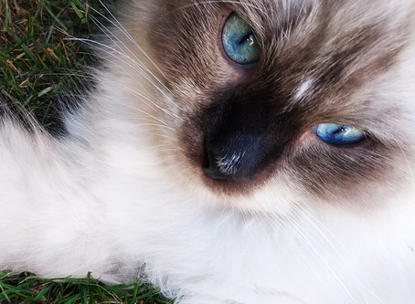 Dlaczego koty mają pionowe źrenice?
