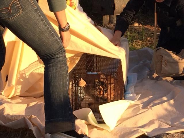 猫の捕獲器をすっぽり包む布