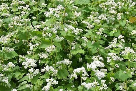 Buckwheat plant, the source of Lil Bucks