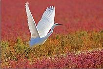 oiseau-blanc-prend-son-envol-champ-rose-