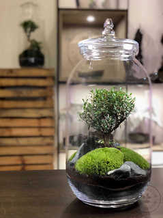 wide Large bonsai