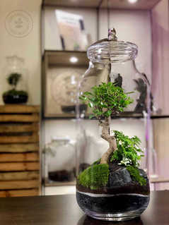 wide XL bonsai
