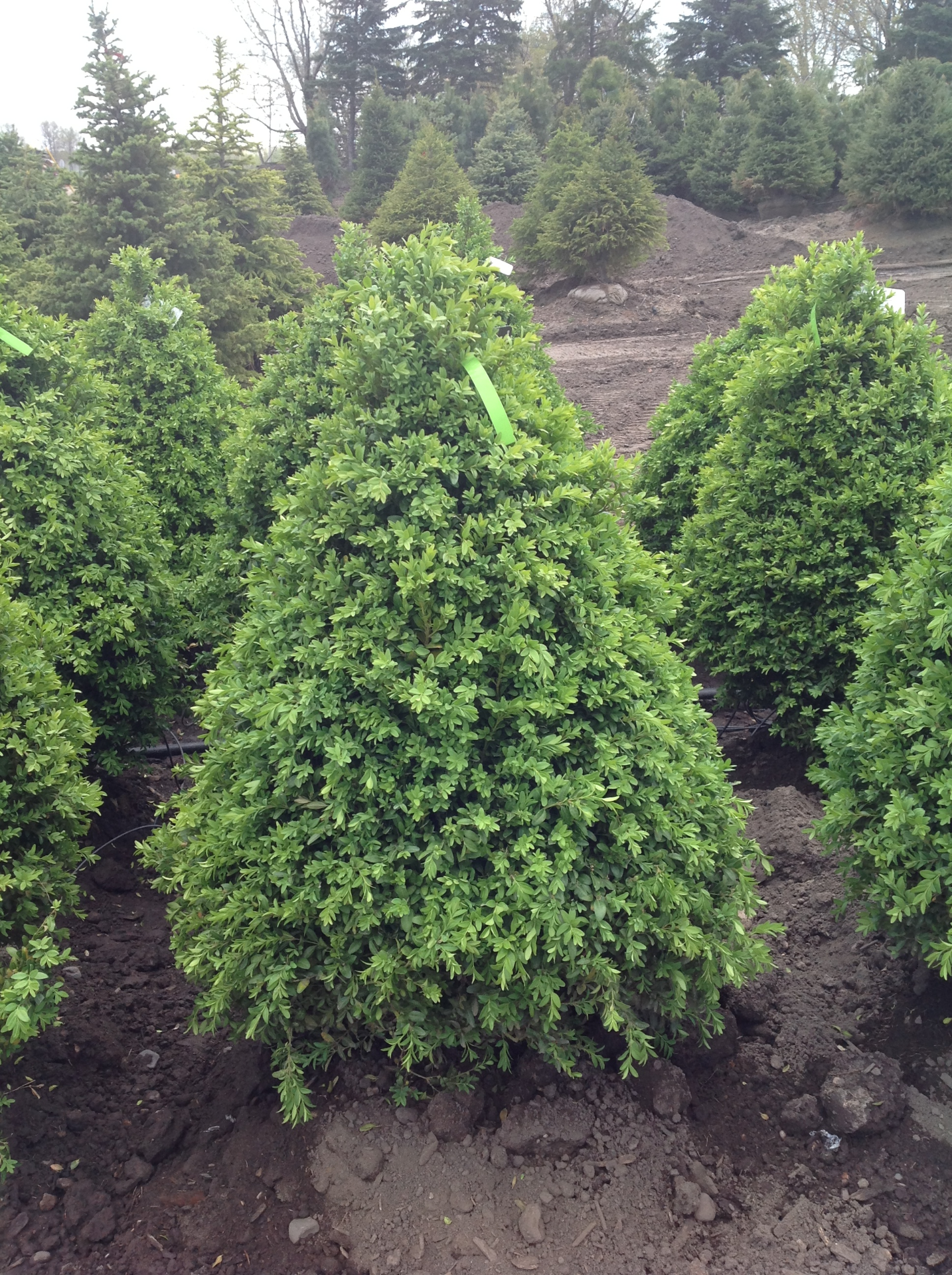 Buxus-upright boxwood