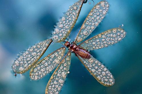 Christmas Fly, Christmas flies Asien, Makro Libelle, Makro Fliege