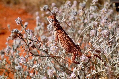 Eidechse Uluru, Tiere Ayers Rock, Tierwelt Australien, Sonnenanbeter