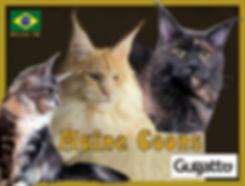 Gatil Gugatto gatos maine coon