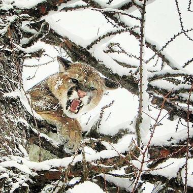 Mountain Lion treed.jpg