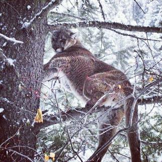 Montana Mountain Lion.jpg