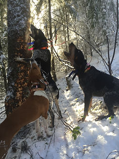Mountain Lion Hunting Hounds