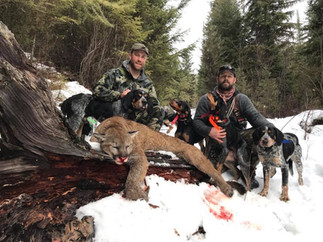 Trophy Mountain Lion Hunt Montana.jpg