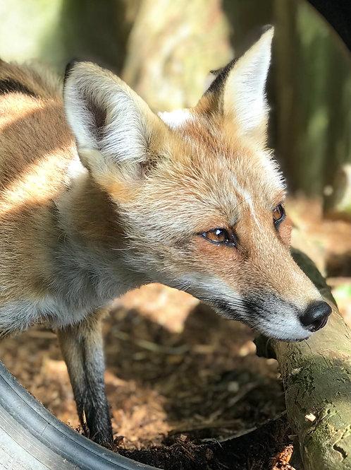 Sponsor Freya the Fox