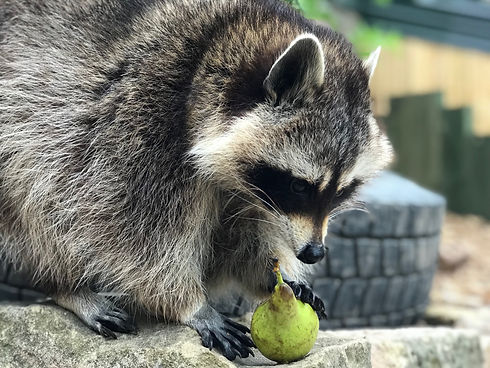 Raccoon with Pear