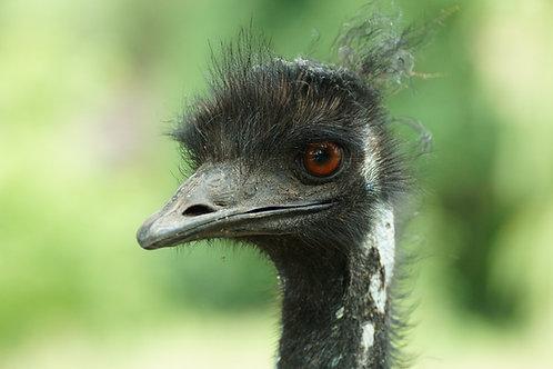 Sponsor Malcolm the Emu