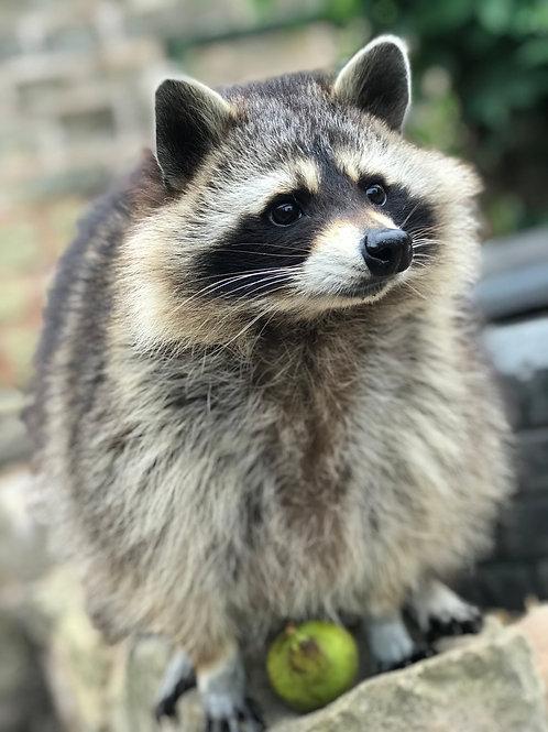 Sponsor Fiona the Raccoon