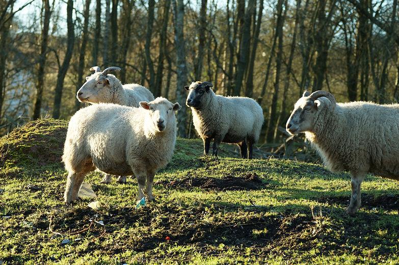 Sheep Sunset 2