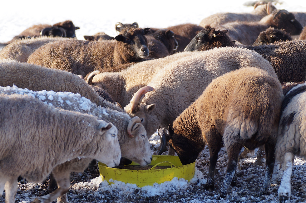 Sheep with mineral block_edited.png