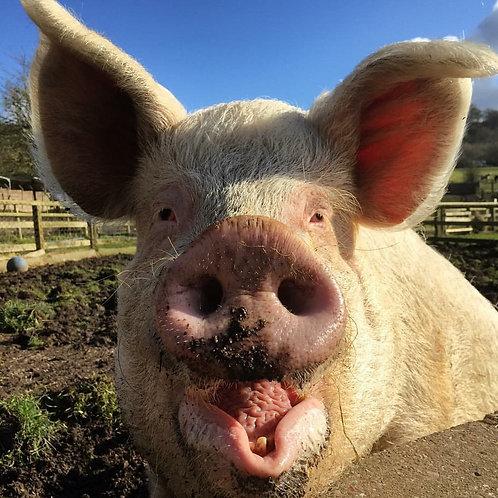 Sponsor the Pigs