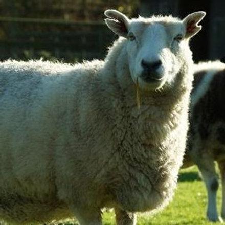 Sponsor the Sheep