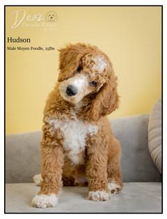 Hudson, Moyen Poodle