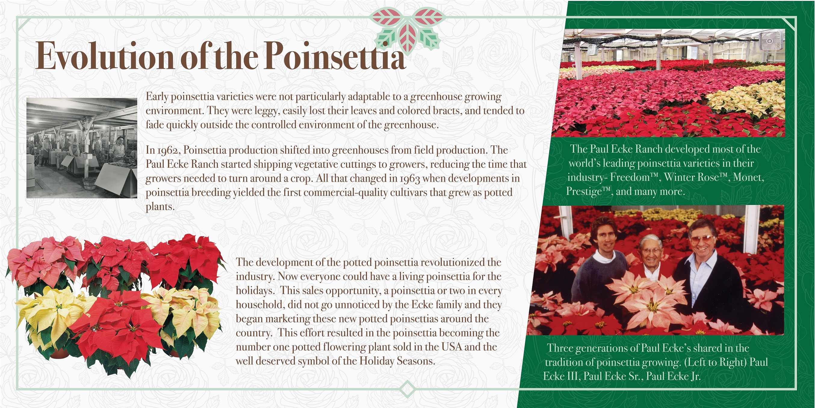 Evolution of the Poinsettia