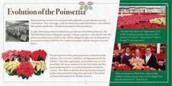 Evolution of the Poinsettia