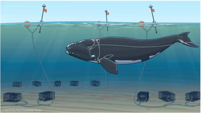 photo of right whale entangled in lobster fishing lines from This image copied from https://www.pewtrusts.org/en/research-and-analysis/articles/2020/01/29/right-whales-urgently-need-protection-from-entanglement-in-fishing-gear