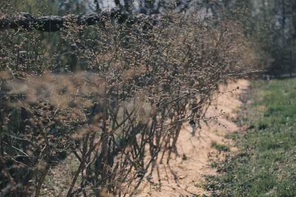 Cucoriedky-rastliny.jpg