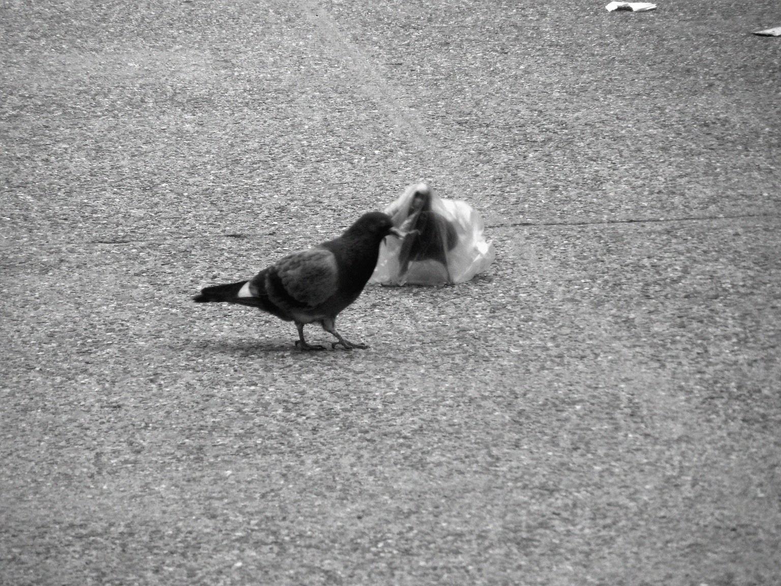 A pidgeon's plastic dance 018