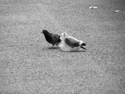 A pidgeon's plastic dance 010