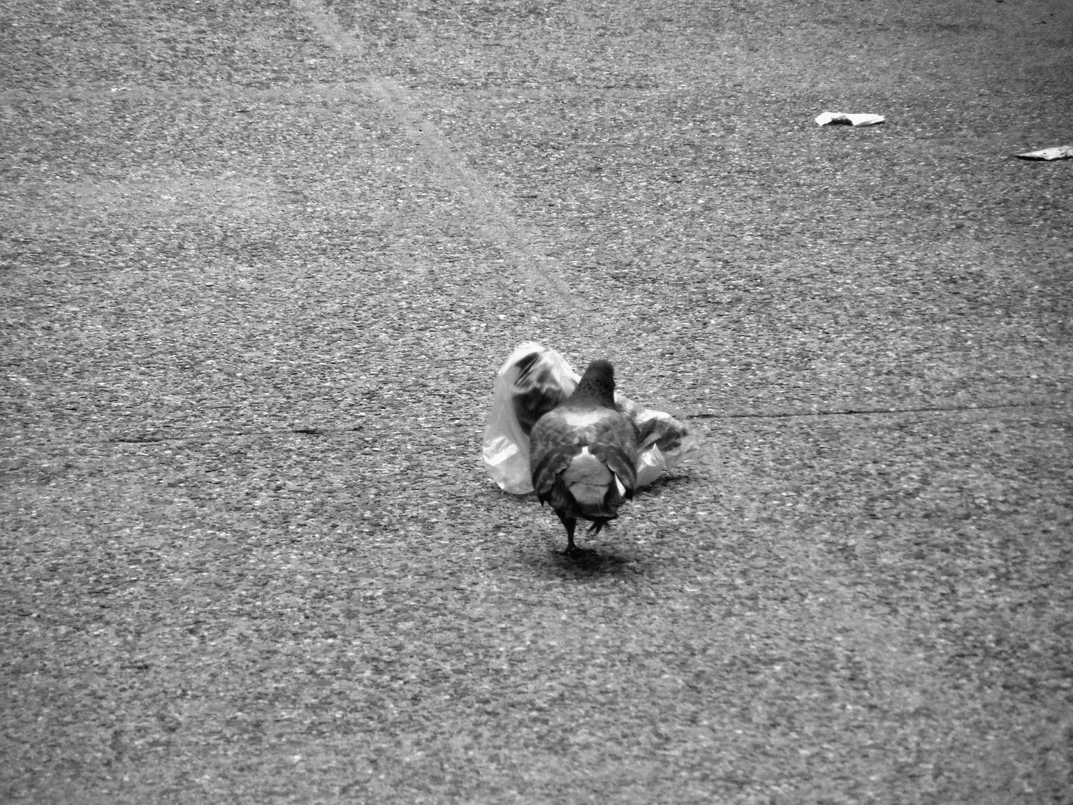 pidgeon's plastic dance 021