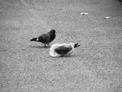 A pidgeon's plastic dance 003