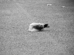 A pidgeon's plastic dance 001