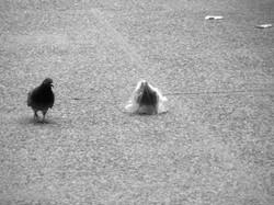 A pidgeon's plastic dance 014