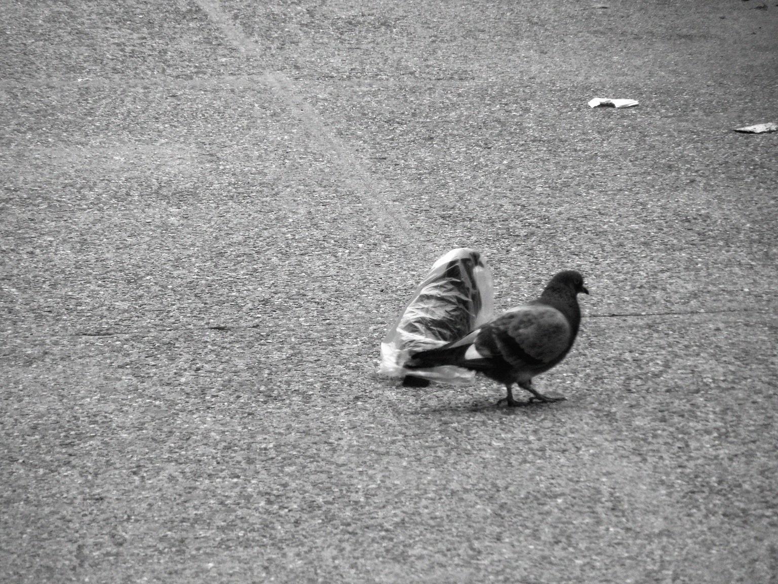pidgeon's plastic dance 022