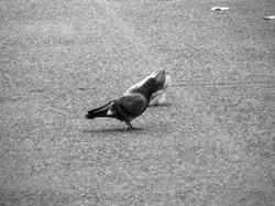 A pidgeon's plastic dance 019