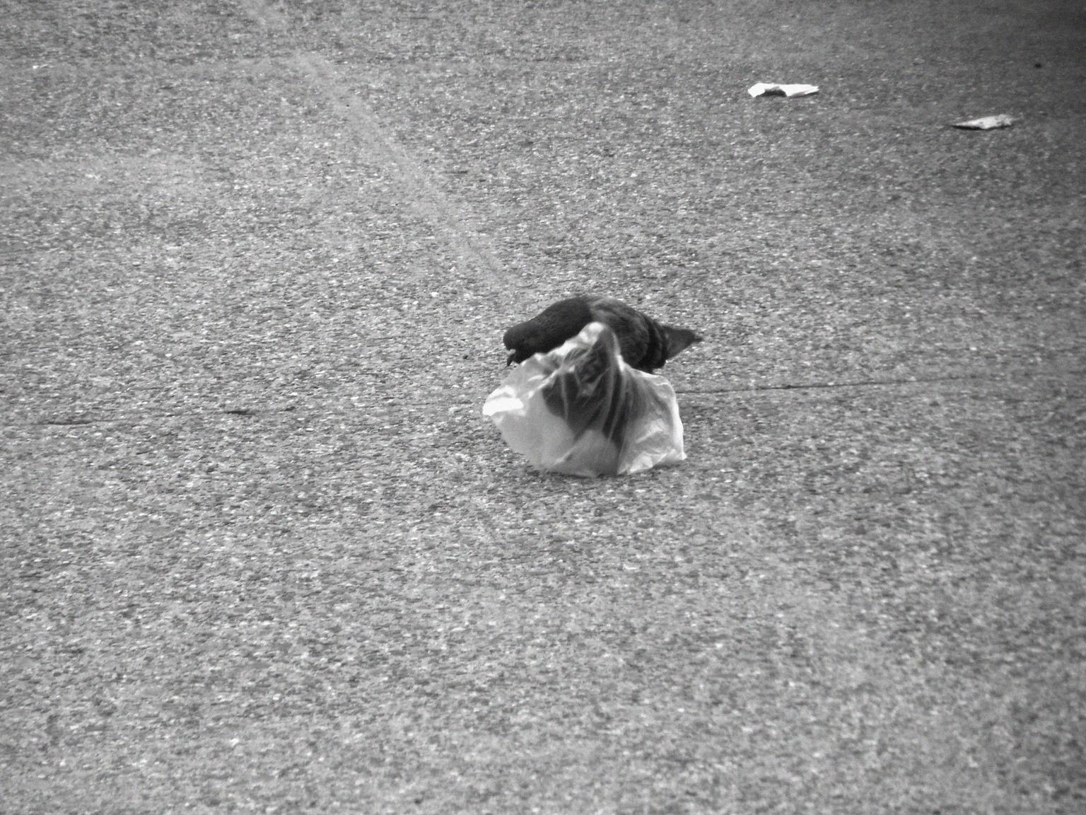 A pidgeon's plastic dance 008