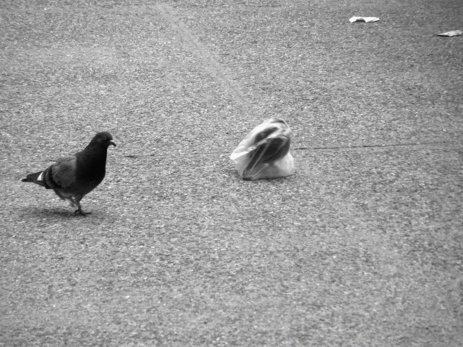 A pidgeon's plastic dance 015
