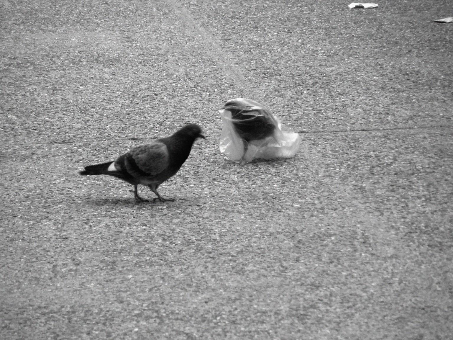 A pidgeon's plastic dance 017
