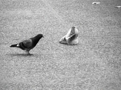 A pidgeon's plastic dance 016