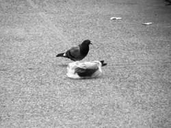 A pidgeon's plastic dance 004