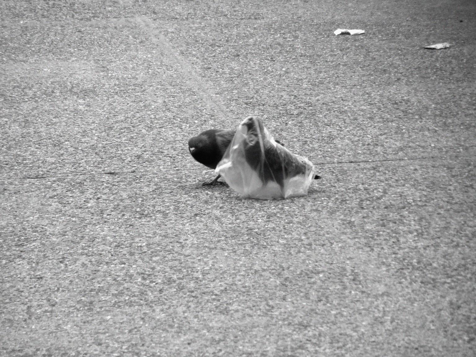 A pidgeon's plastic dance 009