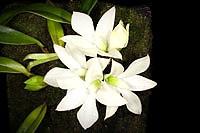 Epiphytic orchid Dendrobium prasinum