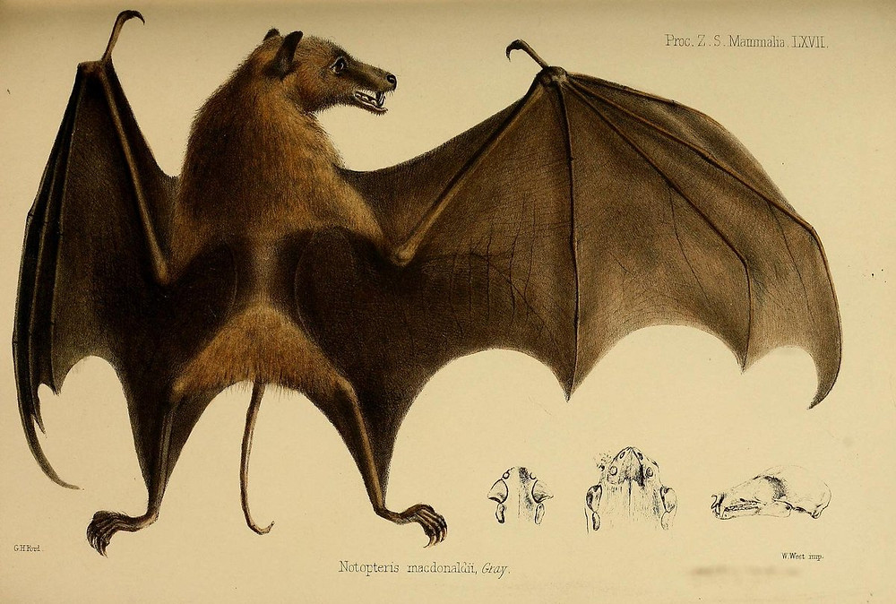 Fiji long-tailed fruit bat