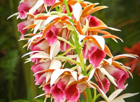 Fiji's gorgeous orchids