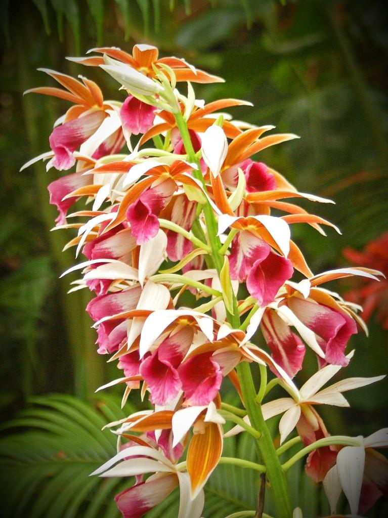 Fiji's largest ground orchid: Phaius tankervilliae