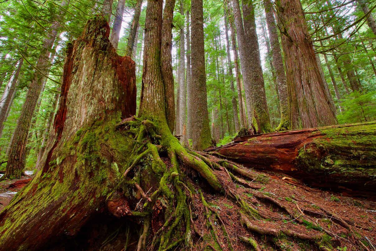 Cedars of Rainier